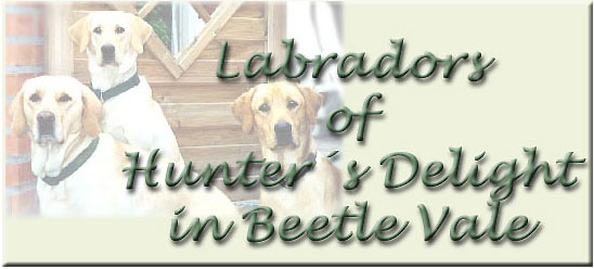 Labrador Retriever | Labradors of Hunter's Delight in Beetle Vale